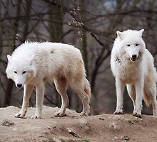 Two Arctic Wolves by balounm