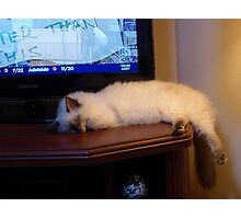 Molly, ragdoll kitten, bored with TV. Photographic Print