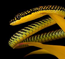Flying Paradise snake by AngiNelson