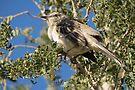Northern Mockingbird ~ Shading  by Kimberly Chadwick