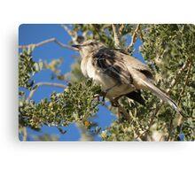 Northern Mockingbird ~ Shading  Canvas Print