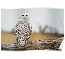 Snowy Owl Immigrant. Poster