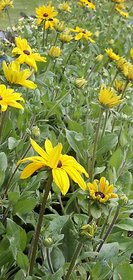 Brown Eyed Susans At The Park by Sandra Foster