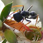 Bull Ant eats honeydew. by Esther's Art and Photography