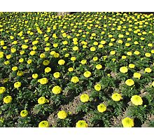 Army of Marigolds Photographic Print