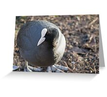 Coot Greeting Card