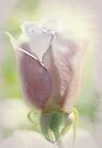 rose whispers by Teresa Pople