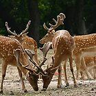 Fallow Deer by Ghinita Leontin