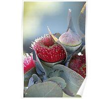 Gum tree flower Poster