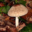 Immature Shaggy Parasol by SWEEPER