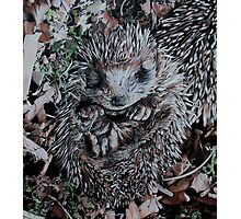 Hedgehog Sleeping Photographic Print
