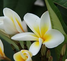 Beautiful Frangipani by Shoots