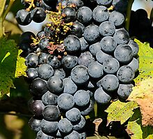 Cabernet Grapes on the Vine by Lee Walters Photography
