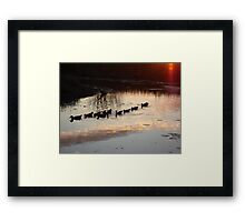 FOLLOW THE LEADER - MUSCOVY DUCKS AT SUNSET Framed Print