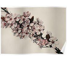 Cherry Blossom at Griddleshay Poster
