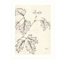 Drawing - Grape Ivy leaf stem Art Print