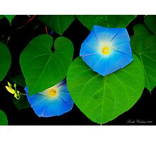 Morning Glorys Heavenly Blues Photographic Print