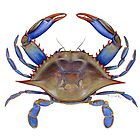Blue Crab (Callinectus sapidus) by Tamara Clark