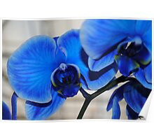 Bright Blue Orchids Poster