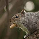 Grey Squirrel by Neil Clarke
