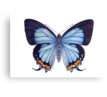 Imperial Blue Butterfly Canvas Print