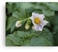 The First Potato Flower of May Canvas Print