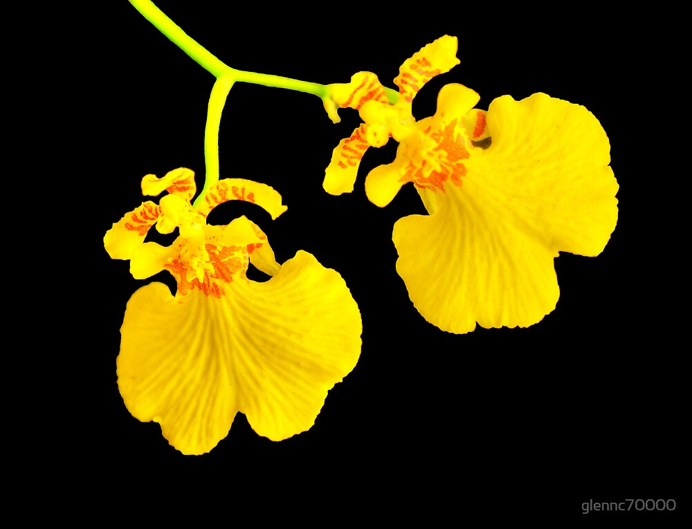 Twin Orchid Blooms by Glenn Cecero