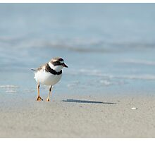 Semi Palmated Plover Photographic Print