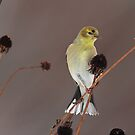Goldfinch Perched on Seed Heads by Bill McMullen