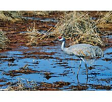 Sandhill Crane Photographic Print