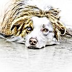 Australian Shepherd by Marcia Rubin