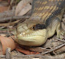 Blue-tongue lizard - Tiliqua scincoides by Andrew Trevor-Jones