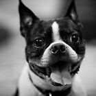 Boston Terrier by photosbycecileb