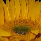 Sunflower -1 by photosbycecileb