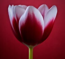 Red Tulip by Nadja Drieling