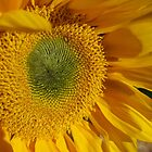Sunflower -3 by photosbycecileb