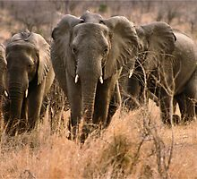 """For the love of elephants"" - African elephant (Loxodonta africana) by Sandy Beaton"