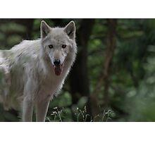 Wolf Pupy Photographic Print