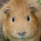 Ginger Guinea Pig by Anne van Alkemade