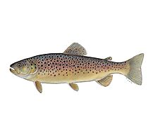 Brown Trout (Salmo trutta) Photographic Print