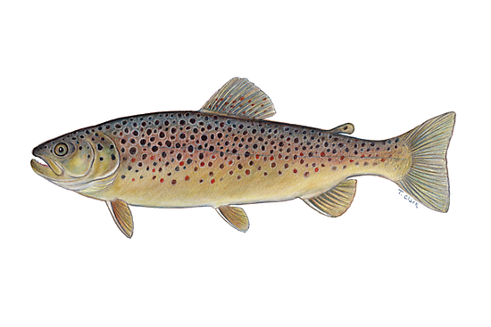 Brown Trout (Salmo trutta) by Tamara Clark