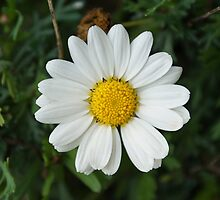 Daisy by Lennox George