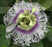 Passion Fruit Flower by STHogan