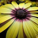 "One Single ""Blue Eyed Beauty"" - Osteospermum by Marilyn Harris"