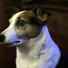 Jack Russell Terrier by honestyS2