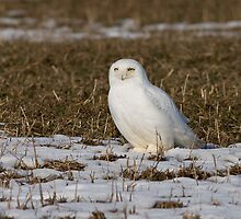 Snowy on a Corn field by Janika