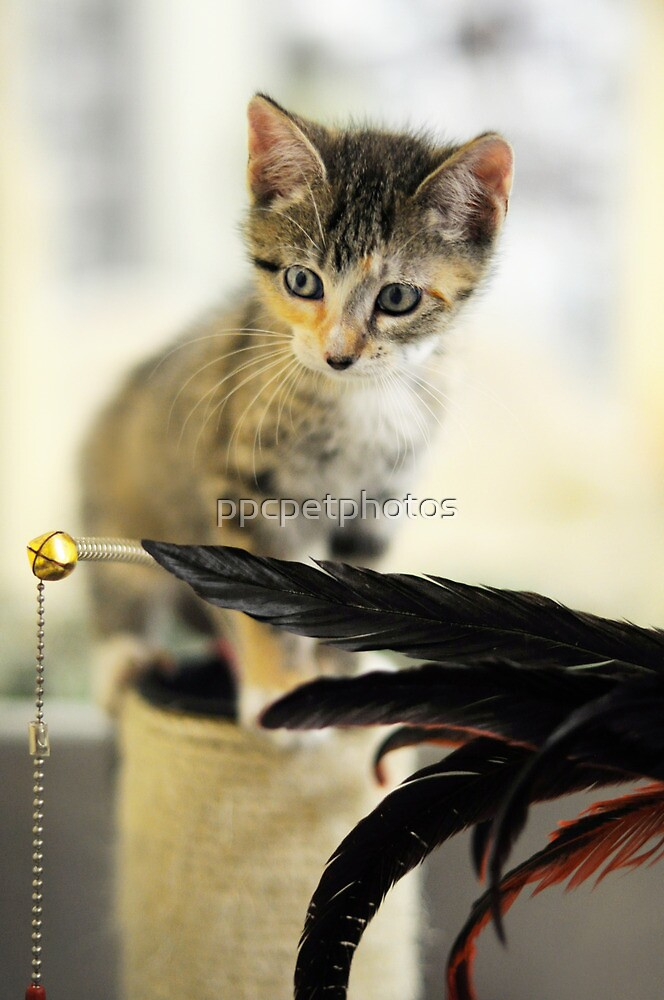 Playing Kitten by ppcpetphotos