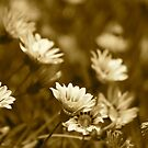 Daisies in Sepia  by Margaret Stanton