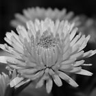 Black and White Flower by Danielle Turner