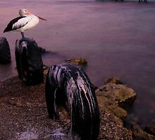 """""""From a coral-ridden rock, a brown pelican takes flight, from the opaque gloom, into morning light.""""- Michael Bergman by Carly19"""